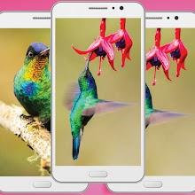 Cute Hummingbirds Wallpaper - Animal Backgrounds Download on Windows