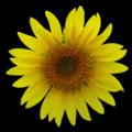 Sunflower LW Free + weather APK