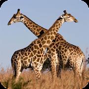 Giraffe Wallpaper Best 4K