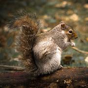 Squirrel Calls