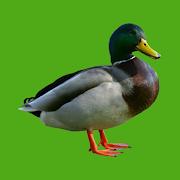 Progressive Duck Decoy