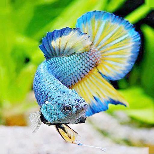 Betta Fish Wallpaper Programu Zilizo Kwenye Google Play