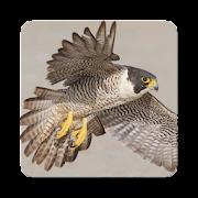 Peregrine Falcon Sound Collections ~ Sclip.app