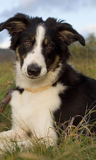 Border Collie Jigsaw Puzzle For PC Windows (7, 8, 10, 10X) & Mac Computer Image Number- 5