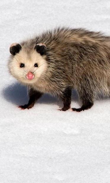 Possum Wallpaper screenshot 7