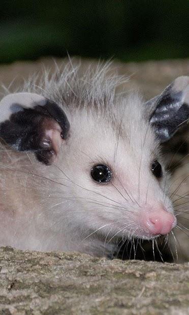 Possum Wallpaper screenshot 1
