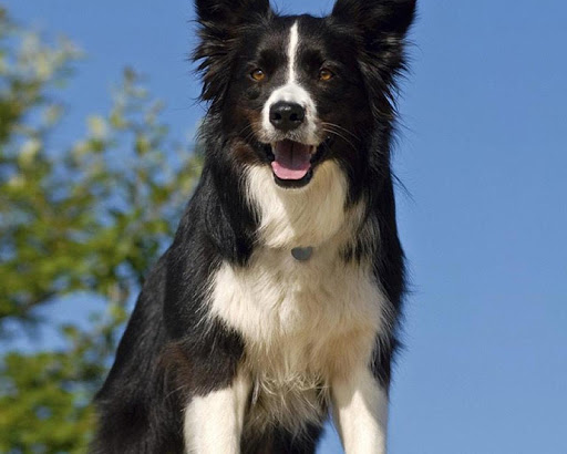 Border Collie Jigsaw Puzzle For PC Windows (7, 8, 10, 10X) & Mac Computer Image Number- 9