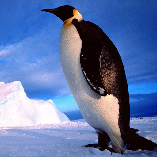 Penguins Jigsaw Puzzles apkdebit screenshots 12
