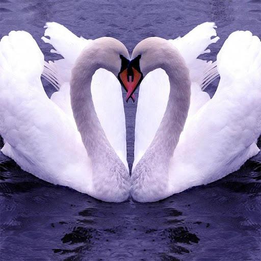 Swans Jigsaw Puzzles screenshots 1