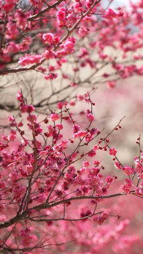 Sakura Live Wallpaper modavailable screenshots 1