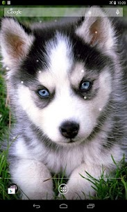 Husky Live Wallpaper  For Pc   How To Download For Free(Windows And Mac) 1