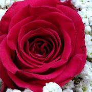 Rose Wallpaper, Floral, Flower background : Rosefy
