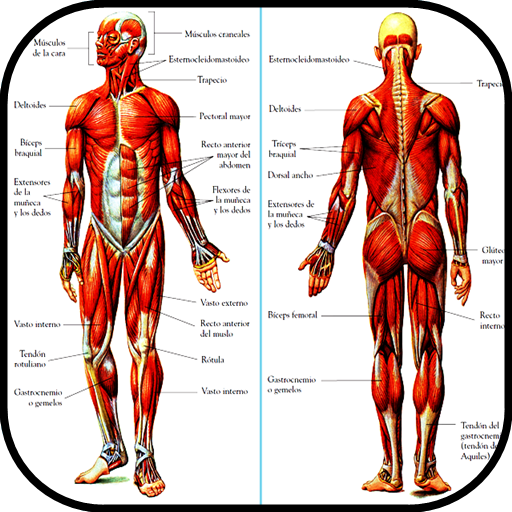 Baixar Learn Human Anatomy. The human body para Android