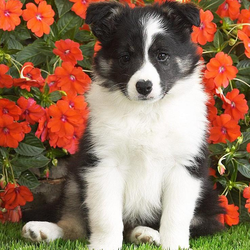 Border Collie Jigsaw Puzzle For PC Windows (7, 8, 10 and 10x) & Mac Computer