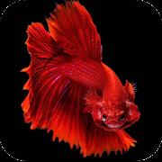 Betta Fish Wallpapers 4K