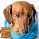 dachshund dog wallpaper APK