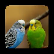 Parakeet Bird Sound Collections ~ Sclip.app