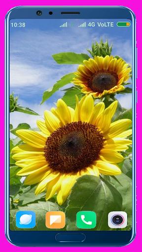 Sunflower Wallpaper Best 4K