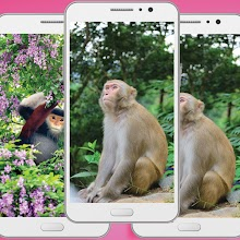 Monkey Wallpaper Apk - Animal Background Wallpaper Download on Windows