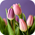 Tulip Wallpapers APK