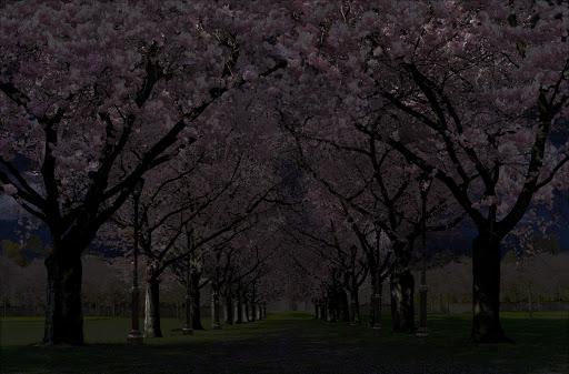 Spring Cherry Blossom Live Wallpaper FREE 1.05 screenshots 3