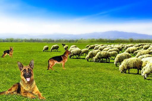Real Dog Shephard World SIM 1.1 screenshots 1