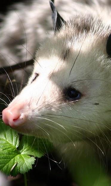 Possum Wallpaper screenshot 4