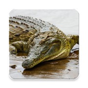 Top 30 Lifestyle Apps Like Crocodile Sound Collections ~ Sclip.app - Best Alternatives