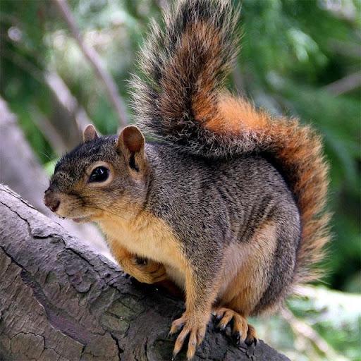Squirrels Jigsaw Puzzles apkdebit screenshots 3