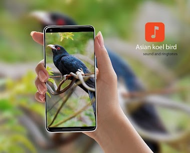 Asian koel bird Ringtones 1