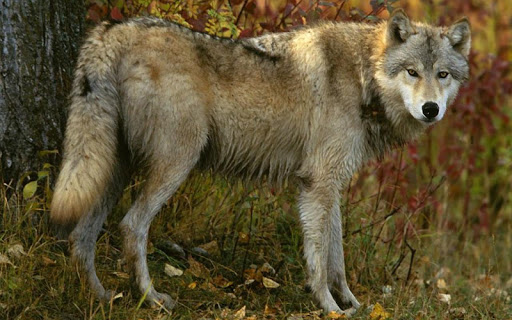 Wolf Jigsaw Puzzles screenshots 4