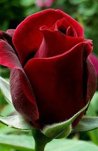 Good morning Flower Wallpapers Colorful Roses 4K 12.1.6 Screenshots 7