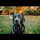 Labrador retriever para PC Windows