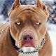 Pitbull Dog Wallpaper HD Download for PC Windows 10/8/7