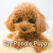 Cute Wallpaper Toy Poodle Puppy Theme