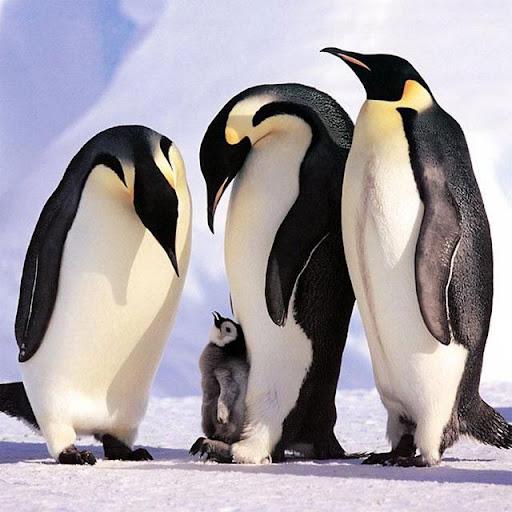 Penguins Jigsaw Puzzles apkdebit screenshots 4