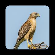 Hawk Sound Collections ~ Sclip.app