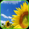 Sunflower Wallpaper APK