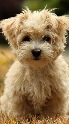 子犬 ライブ壁紙 – 可愛い子犬のおすすめ画像3