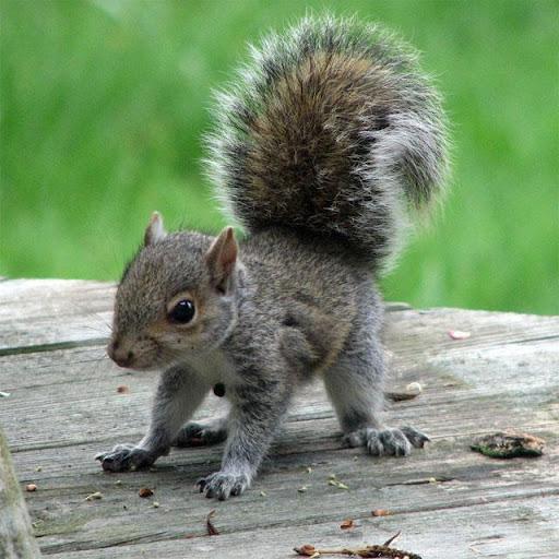 Squirrels Jigsaw Puzzles apkdebit screenshots 14
