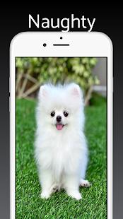 Pomeranian Dog Wallpaper HD - Cute Puppy Wallpaper