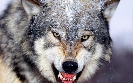 Wolf Jigsaw Puzzles screenshots 2