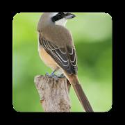 Philippine bird Sound Collections ~ Sclip.app