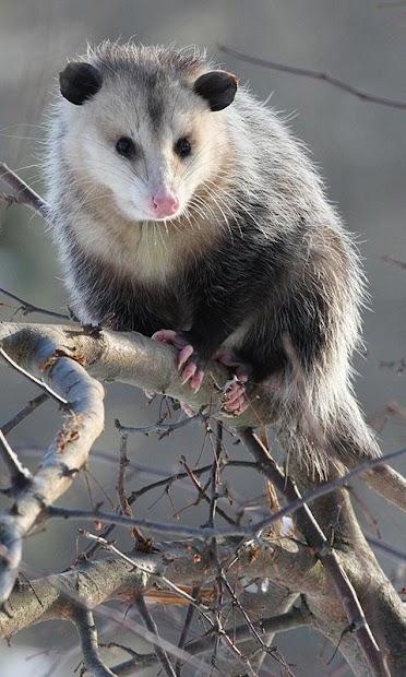 Possum Wallpaper screenshot 5
