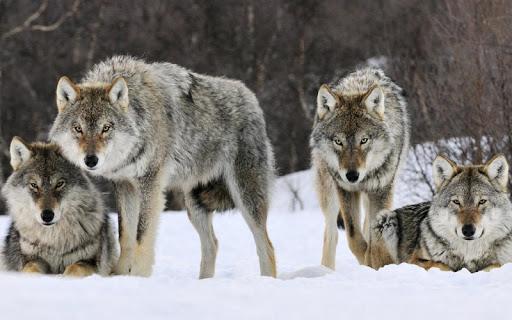 Wolf Jigsaw Puzzles screenshots 3