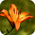 Lily Wallpapers APK