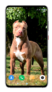 Pitbull Dog Wallpaper HD 5