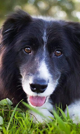 Border Collie Jigsaw Puzzle For PC Windows (7, 8, 10, 10X) & Mac Computer Image Number- 7