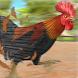 野生 雄鳥 動物 実行 人種 チキン 農場 レーシング