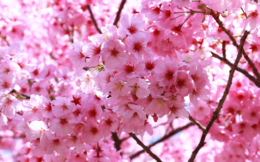 Sakura Live Wallpaper modavailable screenshots 7